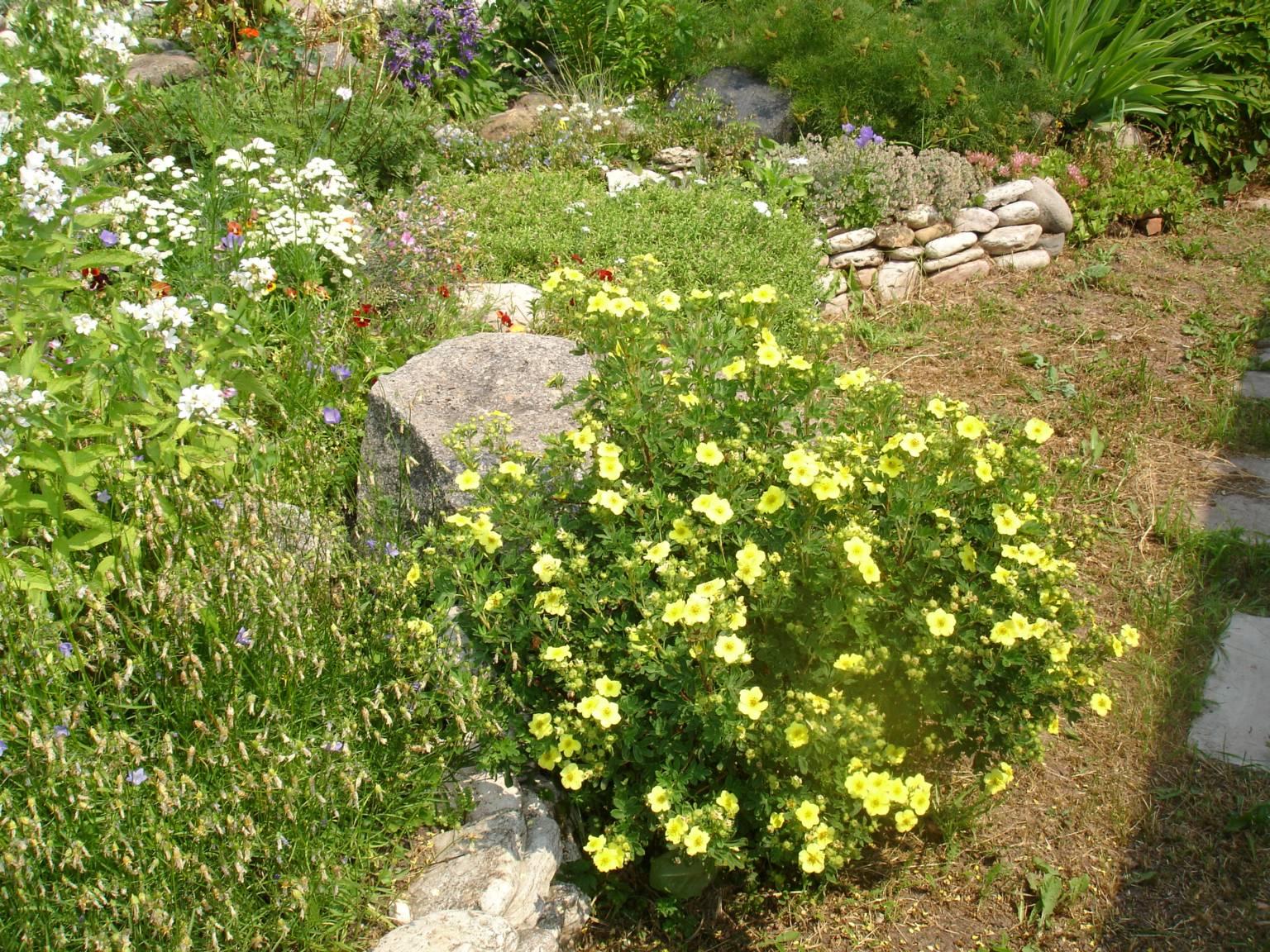 Лапчатка фото цветов садовая