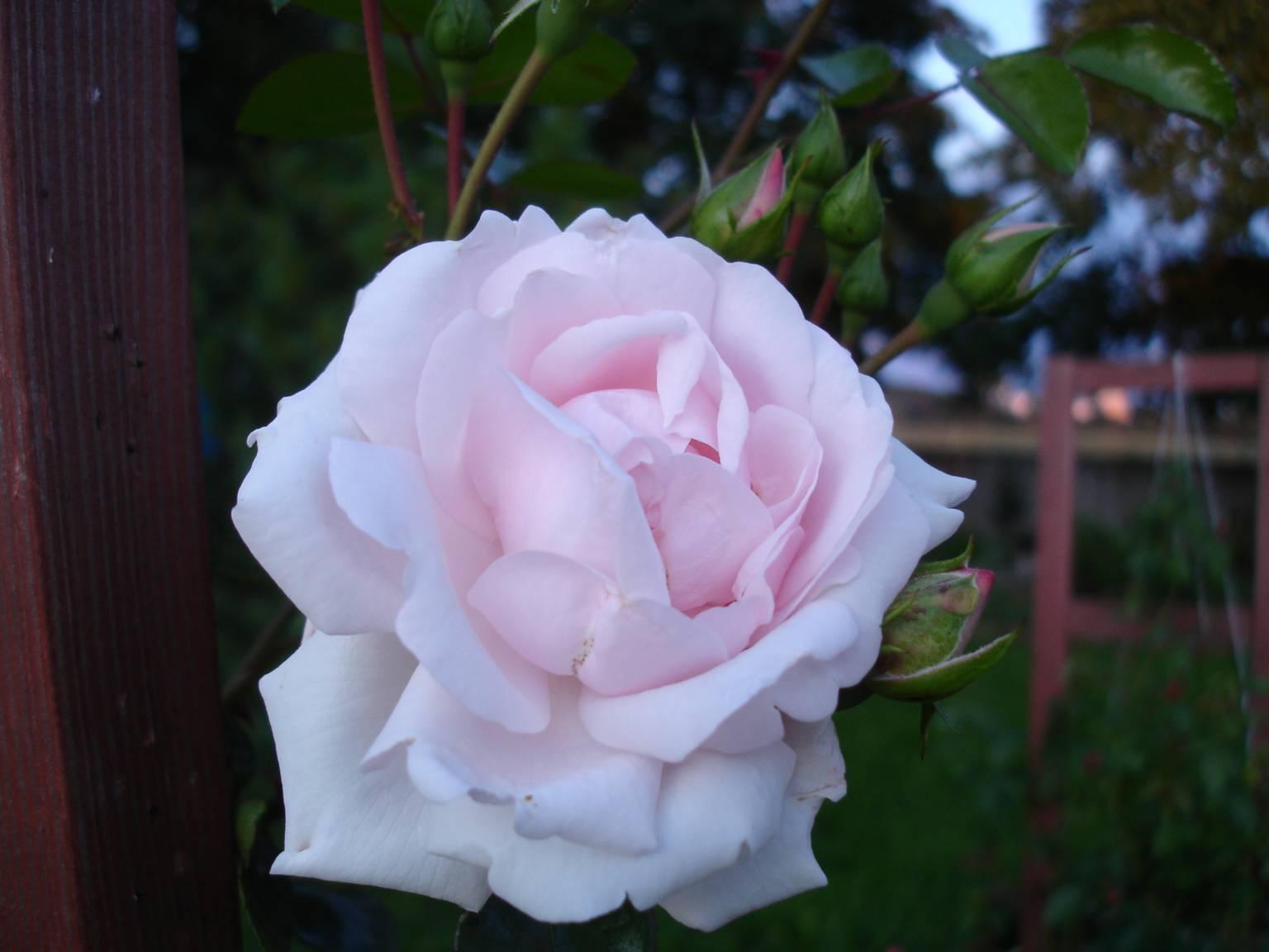 Плетистая роза нью даун 5