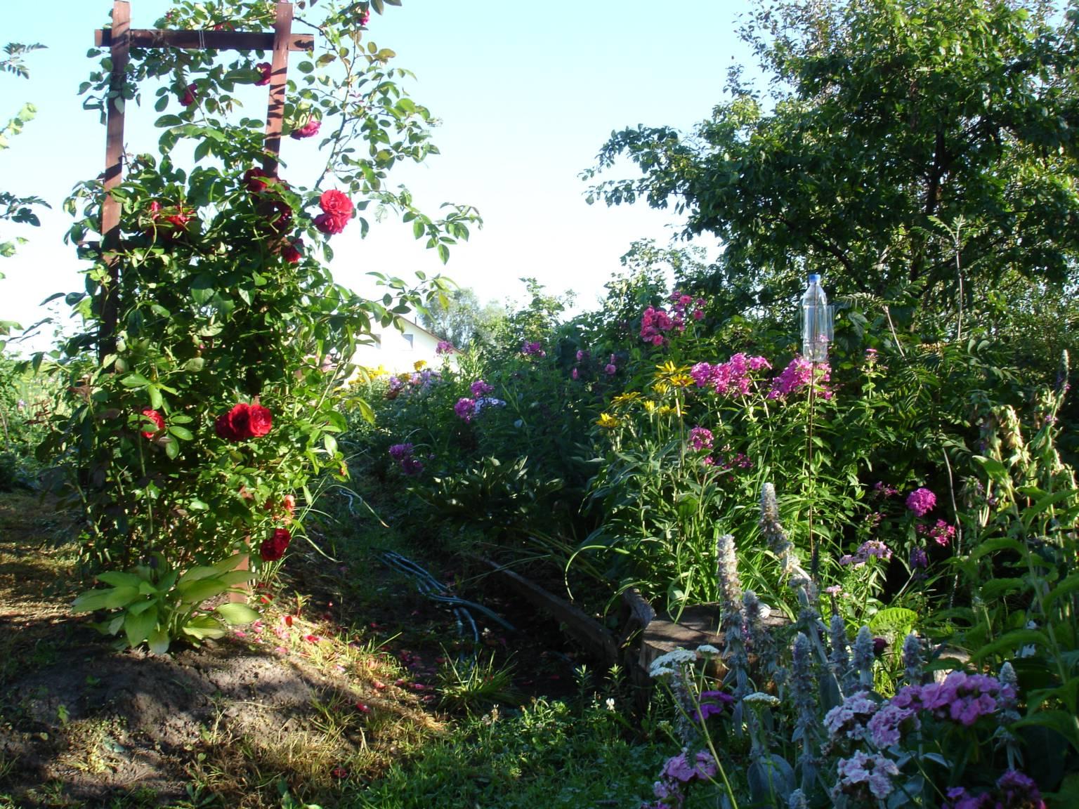 Роза плетистая фламентанц отзывы 1