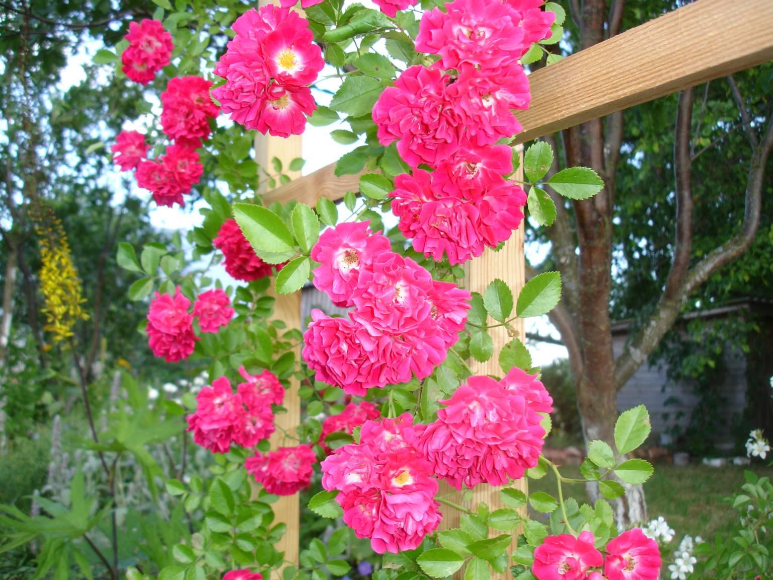 Роза плетистая excelsa 5