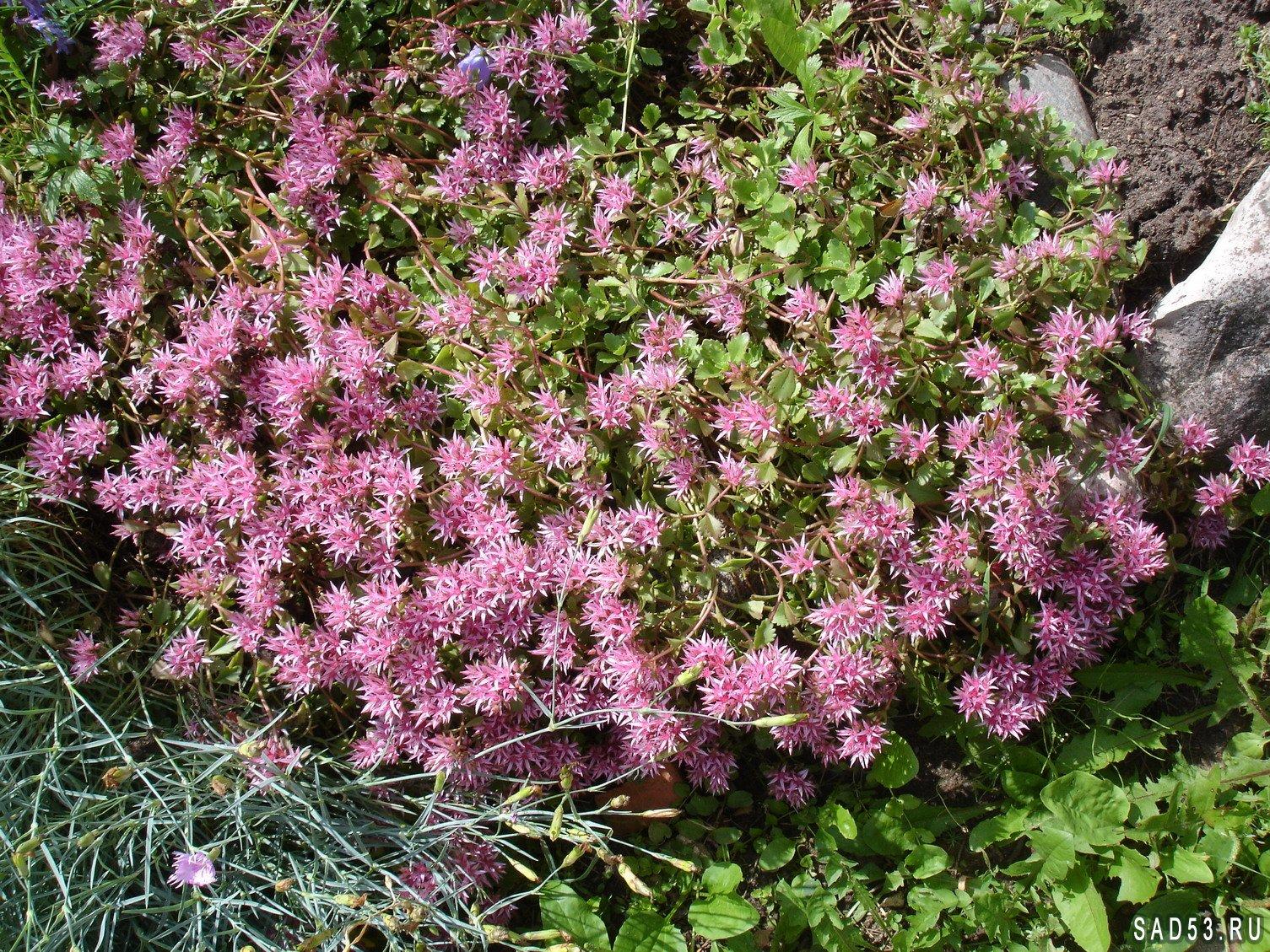 Очиток цветок фото уход