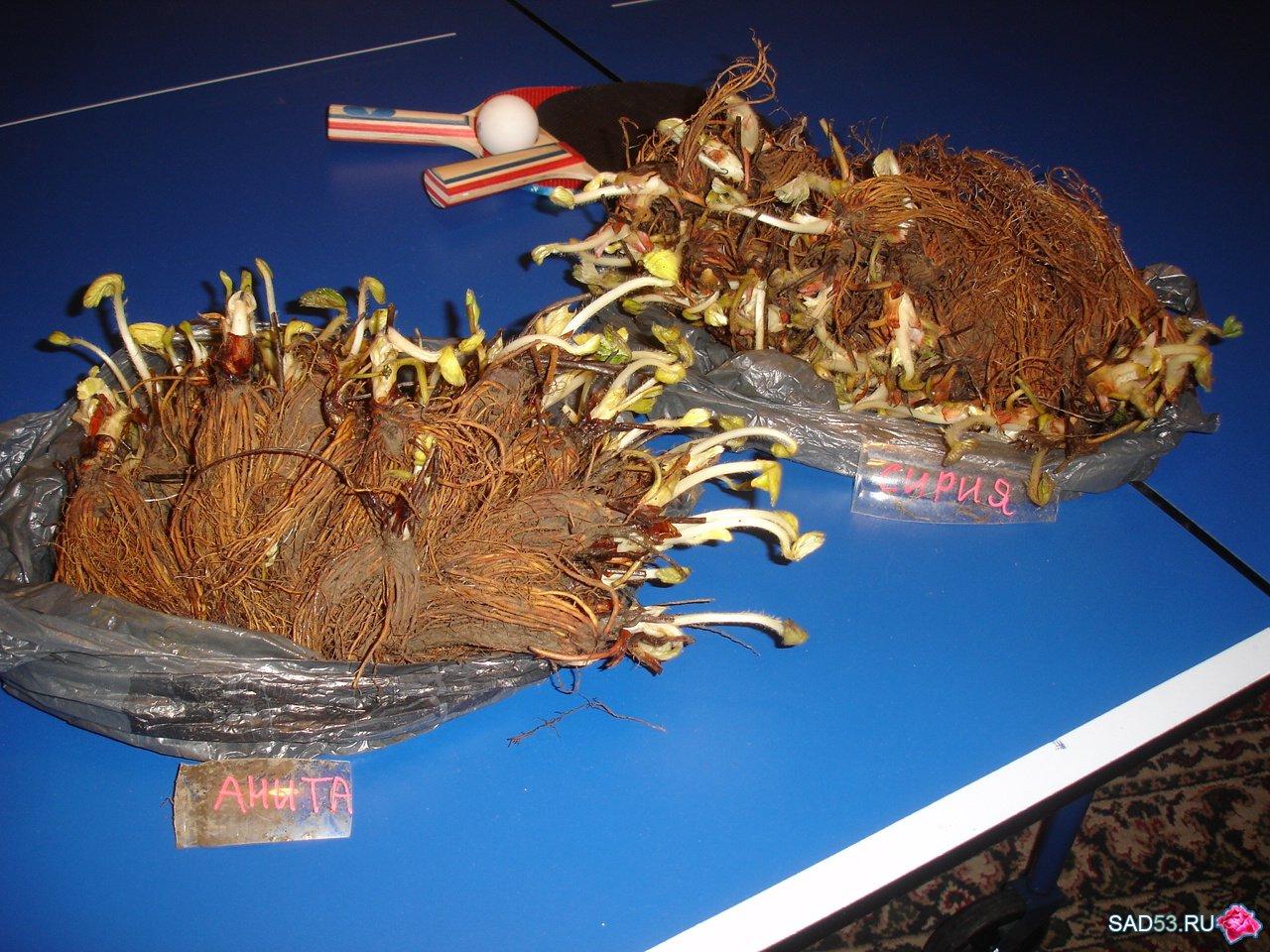 Выращивание рассады клубники фриго 37