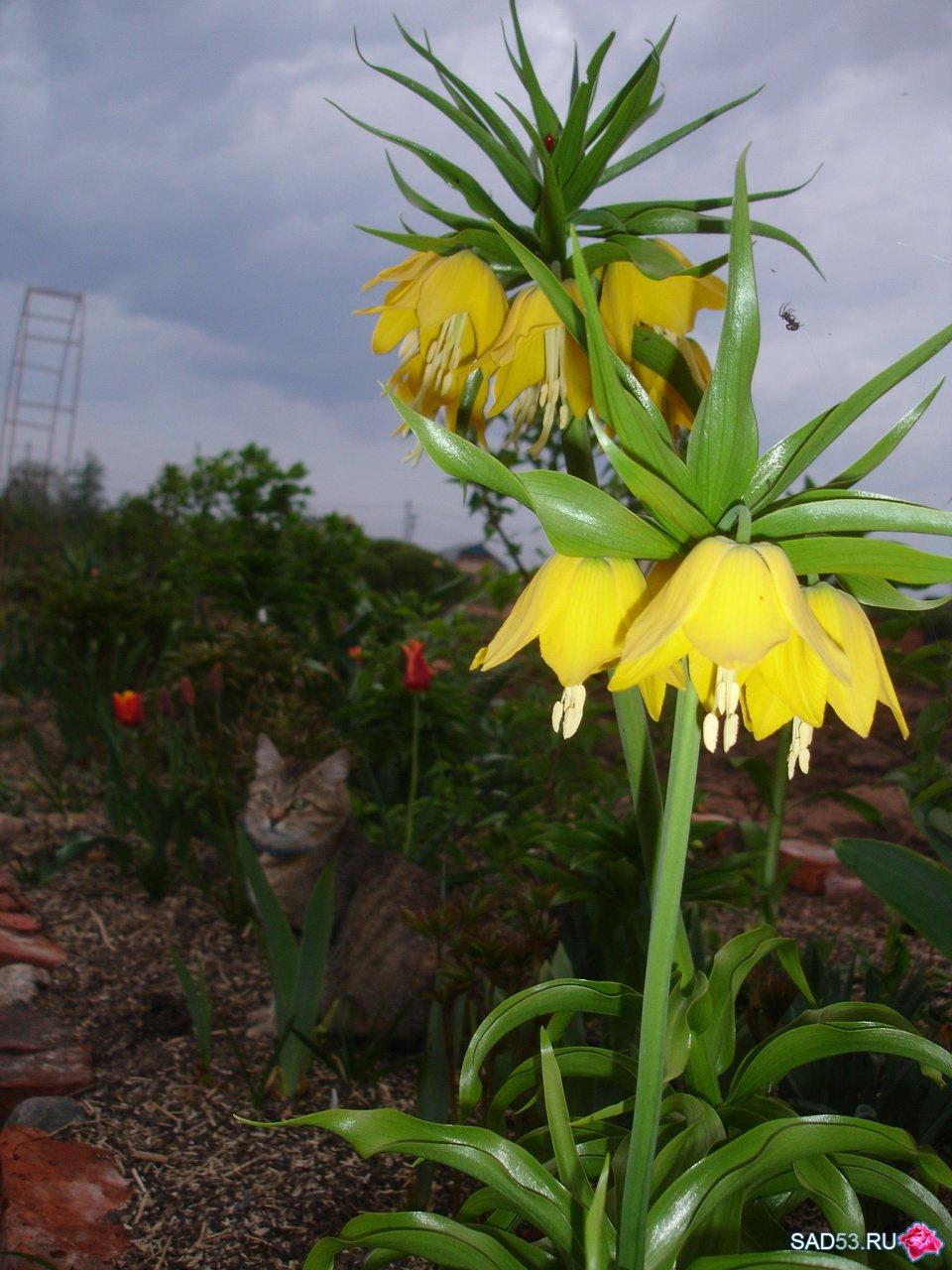 Рябчик императорский рубра фото цветок