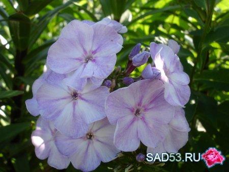 Виолетта глориоза