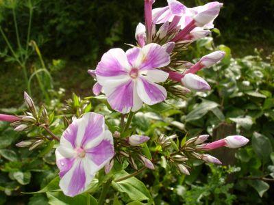Цветы семена почтой посадочный